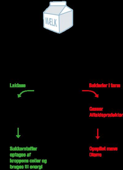 Figur 1. Laktose intolerance. Laktosen nedbrydes normalt af laktase, og optages derefter af kroppens celler. Hvis man er laktoseintolerant bliver laktosen optaget af bakterier i tarmen, der producerer gasser og andre affaldsprodukter.