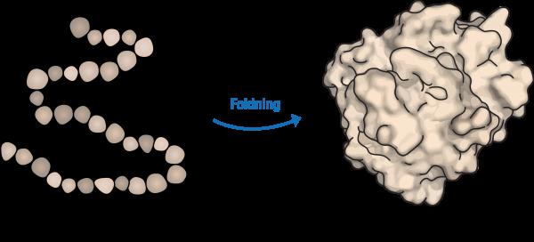 Figur 2. Foldning af protein. Et protein er en lang kæde af aminosyrer, der folder omkring sig selv og danner en tredimensionel struktur.