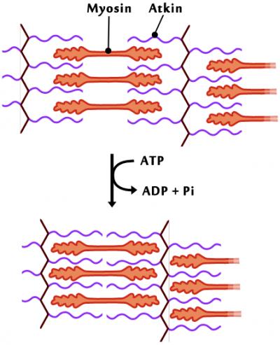 Figur 5.2 - Muskelsammentrækning: Sammentrækning af muskler sker ved at aktin og myosin pakker sig tættere og derved trækker musklen sammen. Øverst illustreres aktin og myosin i en afslappet muskel. Nederst illustreres aktin og myosin i en sammentrukket muskel. Det ses også, at reaktionen, hvormed aktinen og myosinen trækker sig sammen, kræver ATP.