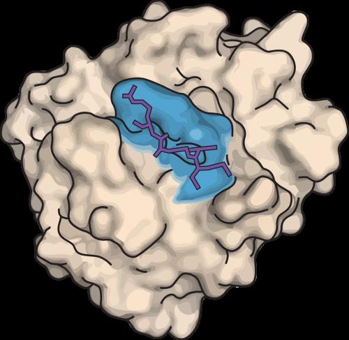 Figur 6. Enzym og substrat. Her ses et enzym med dets aktive sæde, der er formet lidt som en kløft (blåt). I det aktive sæde sidder substratet (lilla), der lige præcis passer til det aktive sædes form.