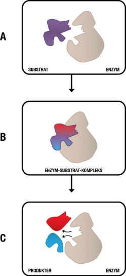 Figur 7. Enzym katalyserer en reaktion med et substrat. A: Enzym (gråt) og dets substrat (lilla). Substratet passer lige præcis til enzymet, ligesom en nøgle i en lås. B: Enzymet og substratet er nu bundet til hinanden og kaldes derfor et enzymsubstrat-kompleks. Det er nu den kemiske reaktion foregår. C: Enzymet har katalyseret en reaktion, der har ændret på substratet; substratet er blevet klippet over. Derfor kaldes substratet nu produkter (pink og grøn).