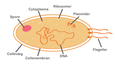 hvad er bakterier