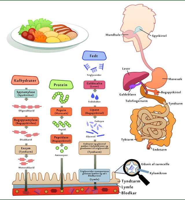 hvad bruger kroppen kulhydrater til