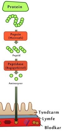 hvordan er proteiner opbygget