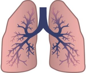 Figur 1. Billedet viser hvordan en lunge er opbygget lidt som et træ med 2 store grene. Her bliver ildten fordelt så det kommer helt ud til alveolerne. Fordi der er så mange små 'grene' på stammen kan der dannes en meget større overfalde. Det kan sammenlignes med at man kun ser på overfalden af en papirskugle, som kan være meget lille, men når man folder papirskuglen ud bliver overfladen et helt stykke A4 papir.