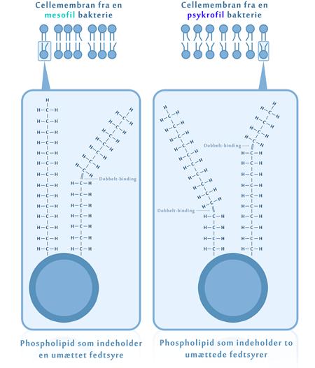 Typerne af fedtsyrer i cellemembranen kan ændre membranens smeltepunkt