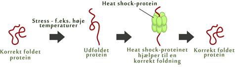 Proteinfoldning med HSP