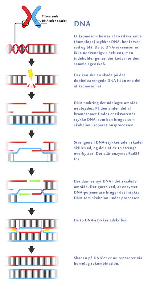 DNA reperation