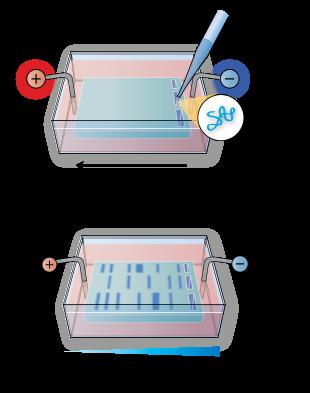 agarose gelelektroforese