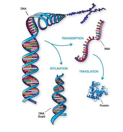 Hvilken type organismer er carbon dating bruges til at bestemme absolut alder
