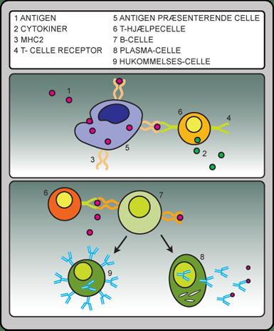 atypiske lymfocytter