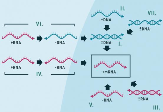 Figur 1 - Baltimore klassificeringen er en måde at gruppere virus baseret på type af genom. Der eksisterer syv grupper.