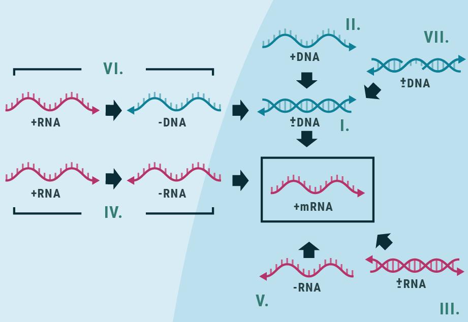 Virologi: Læren om virus - Biotech Academy