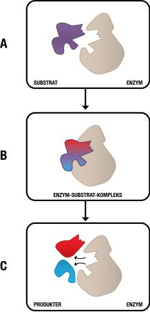 grsk_enzymer_substratbinding